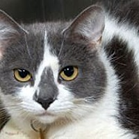 Adopt A Pet :: Pearl Grey - Mountain Home, AR