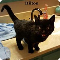 Adopt A Pet :: Hilton - Bentonville, AR