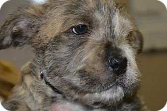 Terrier (Unknown Type, Medium) Mix Puppy for adoption in Meridian, Idaho - Solo