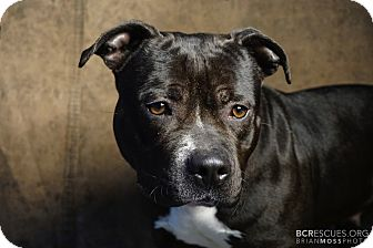 American Pit Bull Terrier Mix Dog for adoption in Cliffside Park, New Jersey - MANDY