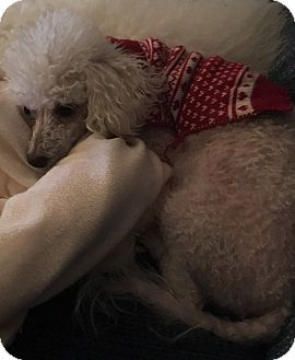 Bichon Frise Dog for adoption in Fairview Heights, Illinois - Snow