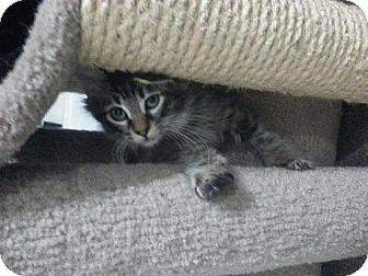 Domestic Mediumhair Cat for adoption in Phoenix, Arizona - Sheldon Cooper