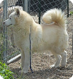 Siberian Husky Dog for adoption in Prole, Iowa - Avalanche