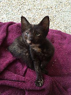 Manx Kitten for adoption in Waggaman, Louisiana - Angel