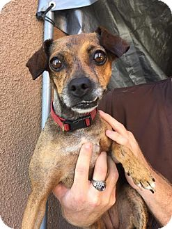 Dachshund/Chihuahua Mix Dog for adoption in Westminster, California - Glenda