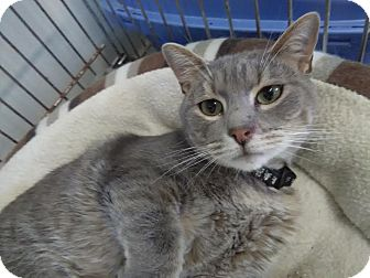 Domestic Shorthair Cat for adoption in Owenboro, Kentucky - FOGGY