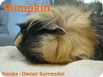 Guinea Pig for adoption in Hamilton, Ontario - Pumpkin