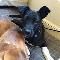 Adopt A Pet :: Sundae - West Hartford, CT