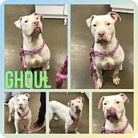 Adopt A Pet :: Gouhl - Steger, IL