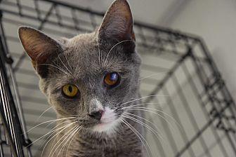 Domestic Mediumhair Cat for adoption in Pottsville, Pennsylvania - Bentley