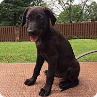 Adopt A Pet :: Shandy - Tuscaloosa, AL