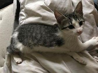 Domestic Mediumhair Cat for adoption in St. Cloud, Florida - Serena