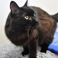 Domestic Shorthair/Domestic Shorthair Mix Cat for adoption in Corvallis, Oregon - Lucky