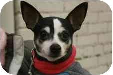 Rat Terrier Dog for adoption in Indian Head, Maryland - Nikki