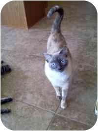 Siamese Cat for adoption in Gilbert, Arizona - Ping and Pong