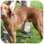 Photo 4 - Vizsla/Setter (Unknown Type) Mix Puppy for adoption in Toledo, Ohio - SMITTY