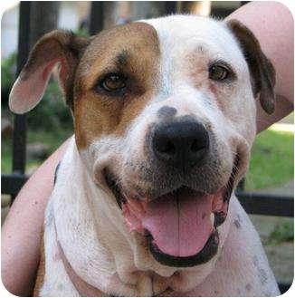 Basset Hound/Shar Pei Mix Dog for adoption in Humble, Texas - Darla
