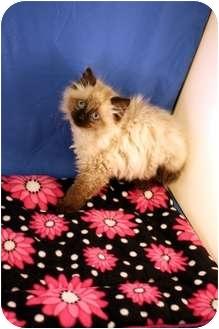 Himalayan Kitten for adoption in O'Fallon, Missouri - Link