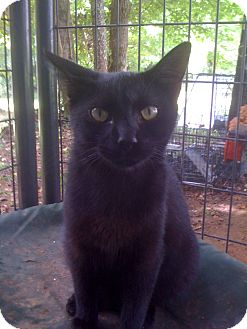 Domestic Shorthair Cat for adoption in Monroe, Georgia - Lakota