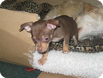 Chihuahua Puppy for adoption in Tumwater, Washington - Rosie