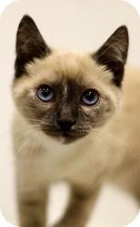 Siamese Cat for adoption in Sacramento, California - Cookie