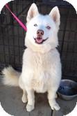 Siberian Husky Dog for adoption in Apple valley, California - Kody