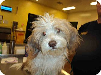 Havanese Mix Dog for adoption in Simi Valley, California - Cosmo