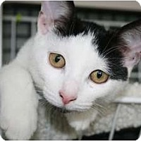 Adopt A Pet :: Sugar - Frederick, MD
