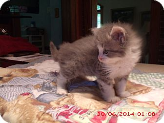 Domestic Longhair Kitten for adoption in Acme, Pennsylvania - ELKA