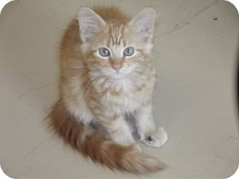Domestic Mediumhair Kitten for adoption in Marshall, Texas - Mac