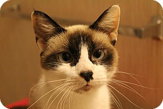 Snowshoe Cat for adoption in Hagerstown, Maryland - Azra
