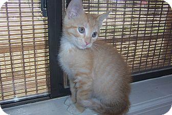 Domestic Shorthair Kitten for adoption in Pueblo West, Colorado - Clayton