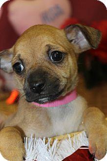 Miniature Pinscher Mix Puppy for adoption in Waldorf, Maryland - Wanda