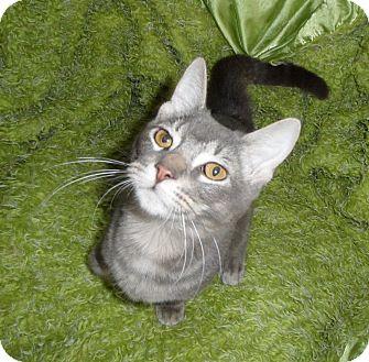 Domestic Shorthair Cat for adoption in Plano, Texas - TUNA - PUPPY KITTEN!!!
