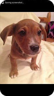 Jack Russell Terrier/Feist Mix Puppy for adoption in Foster, Rhode Island - Searcy