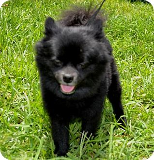 Pomeranian Dog for adoption in Miami, Florida - Teddy