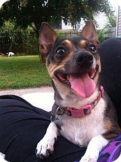 Chihuahua Mix Dog for adoption in Hampton, Virginia - SOPRANO