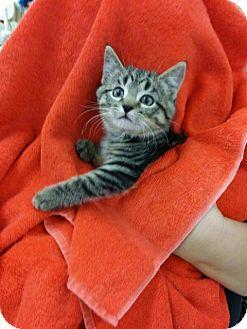 Domestic Shorthair Kitten for adoption in Orland Park, Illinois - Hosta