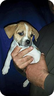 American Pit Bull Terrier/Pug Mix Puppy for adoption in Oxford, Connecticut - Beaker