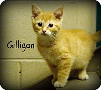 Domestic Shorthair Kitten for adoption in Defiance, Ohio - Gilligan
