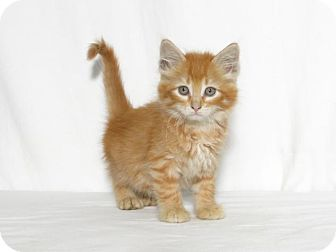 Domestic Mediumhair Kitten for adoption in Lufkin, Texas - Neeko