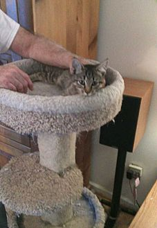 Domestic Shorthair Cat for adoption in Fayetteville, Tennessee - Benji