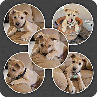 Border Terrier/Schnauzer (Miniature) Mix Puppy for adoption in Tijeras, New Mexico - Simba