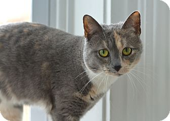 Domestic Shorthair Cat for adoption in Greensburg, Pennsylvania - Josie
