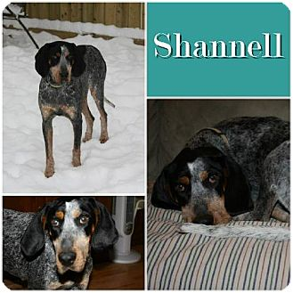 Bluetick Coonhound Dog for adoption in Ontario, Ontario - Shannell