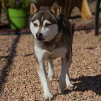 Adopt A Pet :: Greta - Colorado Springs, CO