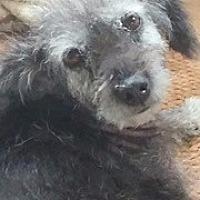 Adopt A Pet :: Jazzie - Germantown, MD