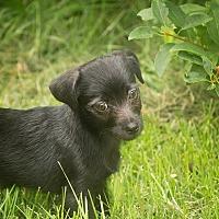 Adopt A Pet :: Symphony - Millersville, MD