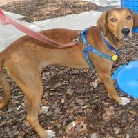 Hound (Unknown Type) Mix Dog for adoption in Umatilla, Florida - Laverne