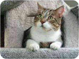 Manx Cat for adoption in New York, New York - Ricky